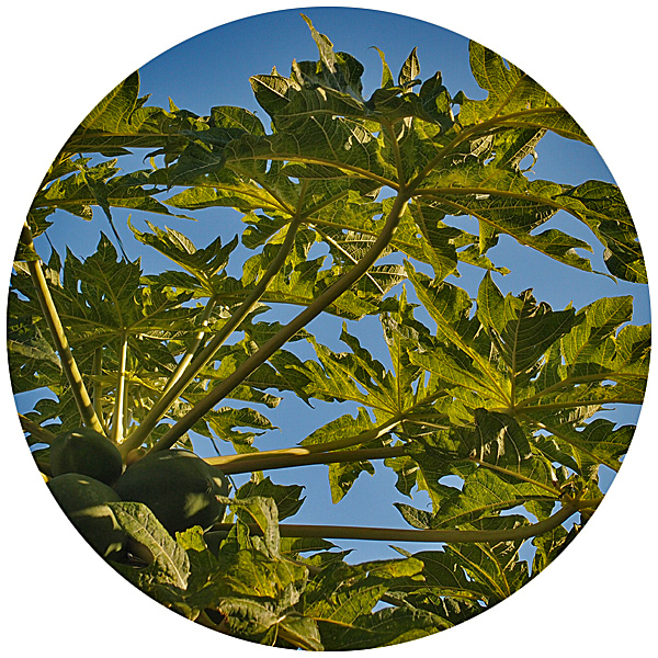 papaya111226_0.jpg