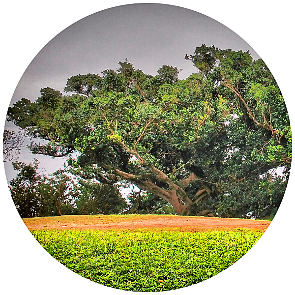 tree_shuri_church1206_0.jpg